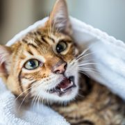 Come pulire il gatto senza lavarlo