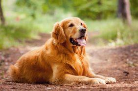 Golden Retriever: perchè prenderlo, pro e contro
