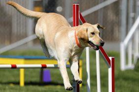 Labrador Retriever: carattere, salute e alimentazione